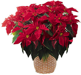Red Poinsettia  from Young Floral Co in Charleston, WV