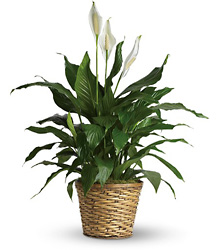Simply Elegant Spathiphyllum - Medium from Young Floral Co in Charleston, WV