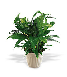 "Spathiphyllum Plant - ""Peace Lilly"" from Young Floral Co in Charleston, WV"